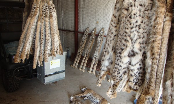 fur caught trapping in Texas