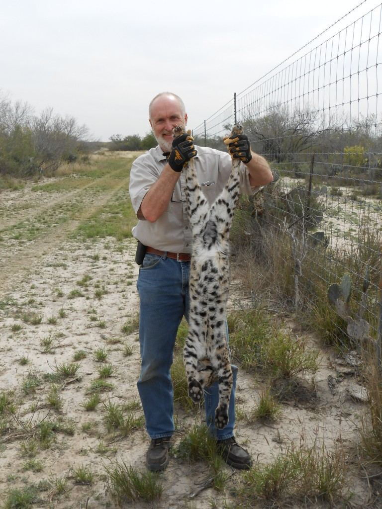 Big texas bobcat, trapping
